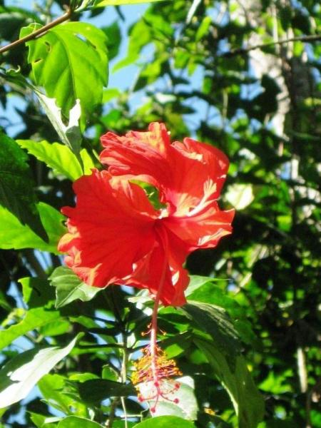 Beautiful hibiscus flower