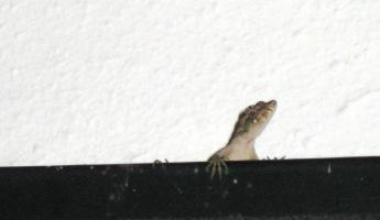 The resident lizard living in our thatched roof