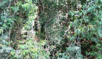 Dense foliage, alive with the sounds of the jungle