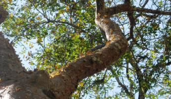 "The gumbalimba tree - or ""tourist tree\"". Can you guess why?"