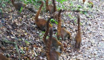 Swarms of curious Coati Mundi