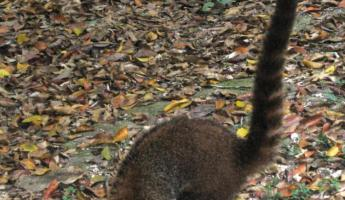 A coati mundi joins us