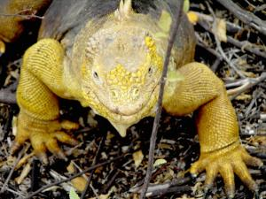See an abundance of iguanas on your Galapagos tour