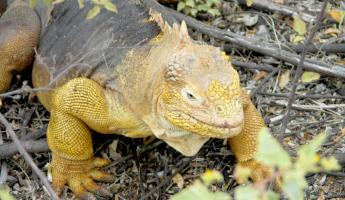 Iguanas and lizards abound in the Galapagos Islands!