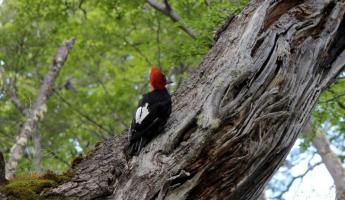 A woodpecker in Torres del Paine