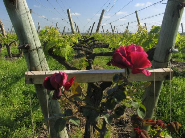 Flowers and grape vines at Bodega Juanico