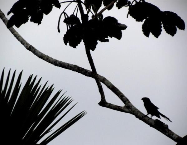 smoothe billed ani in silhouette