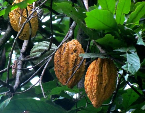 cacao fruit in the Amazon jungle