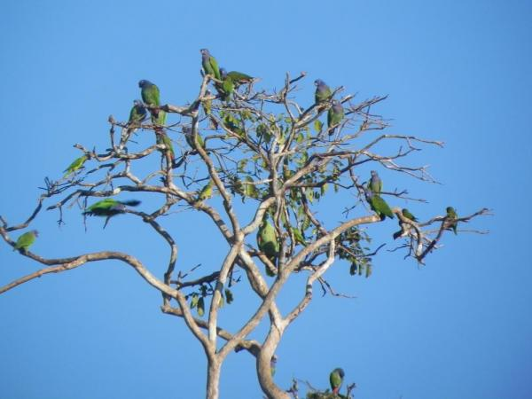 "The ""leaves of the tree"" are blue-headed parrots"
