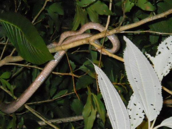 Rainbow Boa on the Nightime Canal Tour - Tortuguero