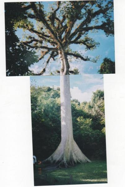The Ceipa tree, state tree of Guatemala