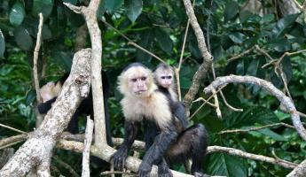 Capuchin monkey with young in Costa Rica