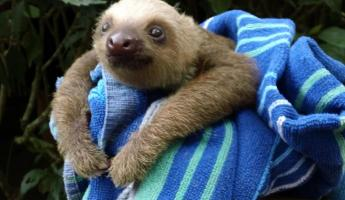A baby three-toed sloth at a preserve in Costa Rica