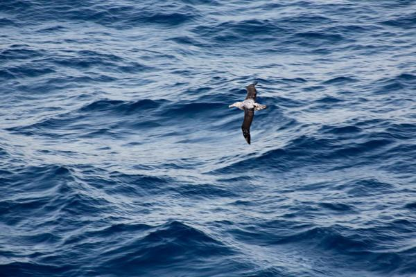 Bird watching in the Drake Passage (Albatross)