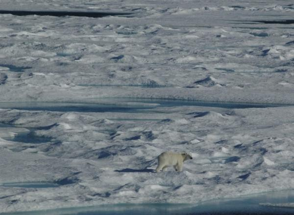 Polar Bear on Ice in Canadian Arctic