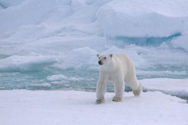 A polar bear strolls along the ice