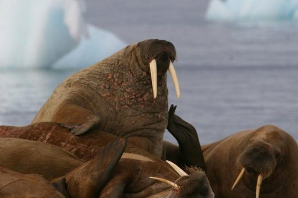 A group of walrus relax in the sunshine