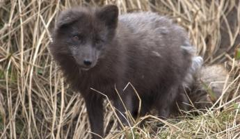 A curious arctic fox