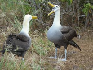 A pair of talking albatross