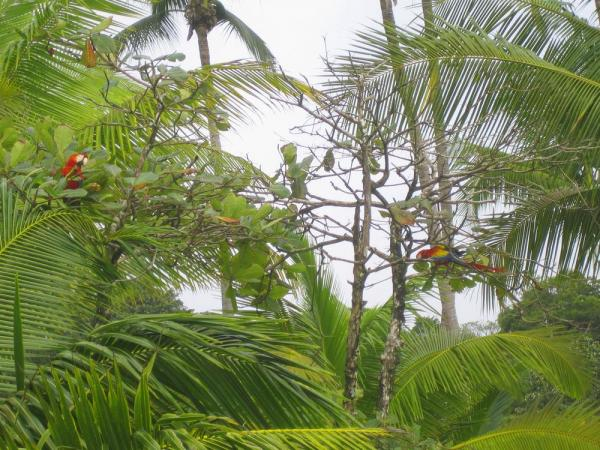 Scarlet Macaws seen during Costa Rica vacation