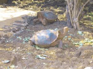 See Galapagos tortoises during a tour to the Charles Darwin Research Station