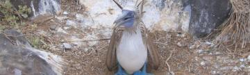 Blue-footed Boobie seen during Galapagos cruise