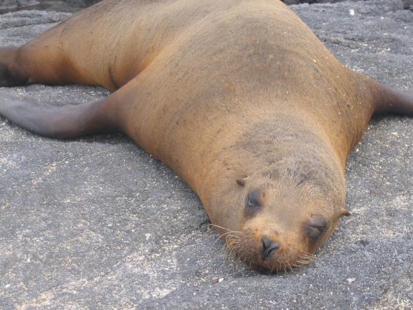 Sea lion taking a nap in the Galapagos