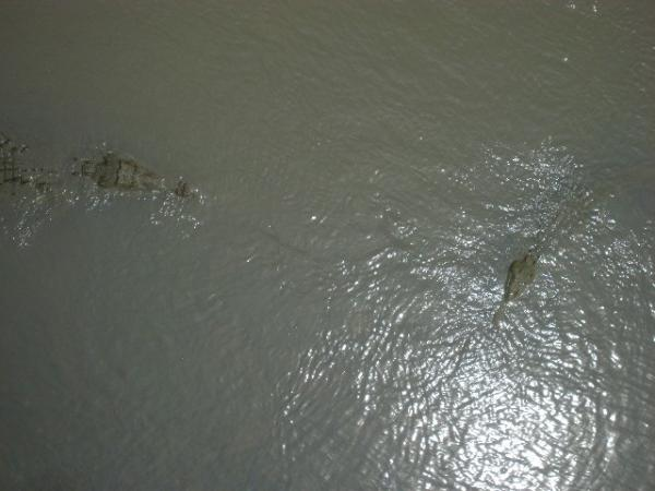 Crocodiles below