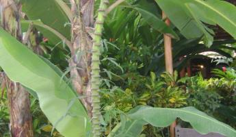 beautiful banana trees at hotel villa bosque
