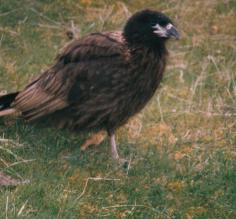Striated Caracara, a carrion eating bird