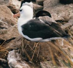 Black Browed Albatross in the Falklands