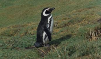 Magellanic penguin, Gypsy Cove