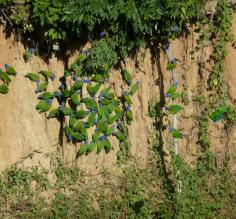 Those blue-headed parrots sure love clay