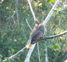 the crazy hoatzin