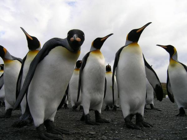 A group of penguins check out the camera