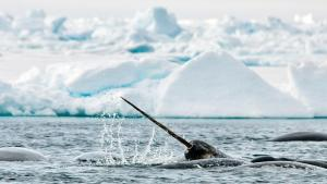 Narwhals amongst the ice