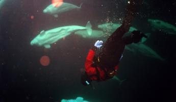 Diving with beluga whales