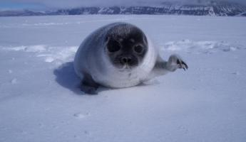A seal pup waves to the camera