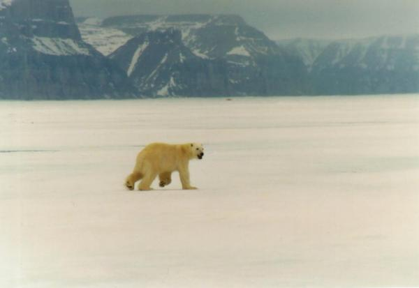 A polar bear runs across the Arctic landscape