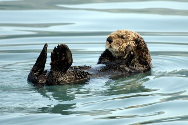 Sea otter spotting on an Alaska wildlife tour