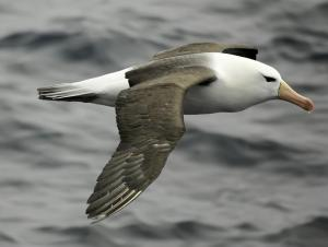 Albatross cruising the Drake Passage to Antarctica