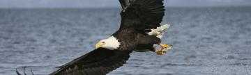 A Bald Eagle catches a fish.