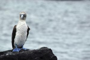 See Blue-footed boobies on your Galapagos tour!