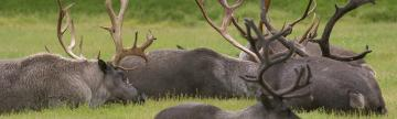 View groups of caribou as you explore the north