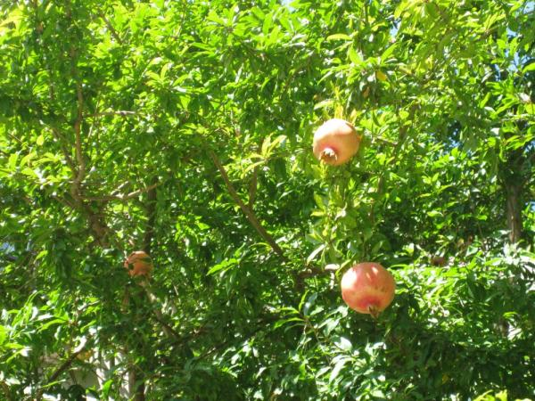 Pomegranates!  Growing right outside our hotel in Istanbul.