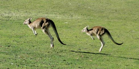 Kangaroos on a tour of the Australian countryside