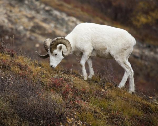 Alaska travel and dall sheep grazing on Alaska hillside
