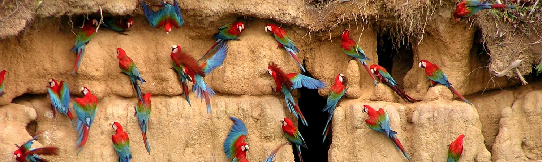 Salt clay licks construct macaws