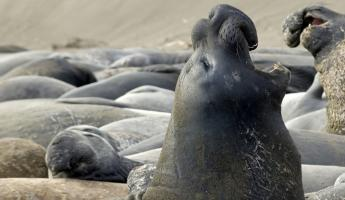 Elephant seal on the coast