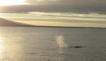 A whale spouts in the distance